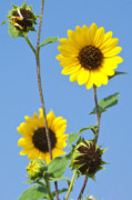 Sun Flowers Framed Prints - Sunflowers And Blue Sky Framed Print by Mark Weaver