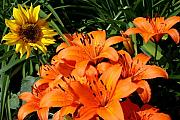 Tiger Lillies Photos - Sunflowers and Lillies by Lois Lepisto