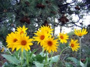 Will Borden Photos - Sunflowers And Pine Cones by Will Borden