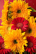 Chrysanthemums  Posters - Sunflowers and red mums Poster by Garry Gay