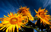 Flower Blooming Originals - Sunflowers and sky by David Nunuk