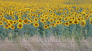 Estephy Sabin Figueroa Photo Metal Prints - Sunflowers Behind Barbed Wire Metal Print by Estephy Sabin Figueroa