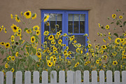 Picket Fences Posters - Sunflowers Bloom In A Garden Poster by Ralph Lee Hopkins