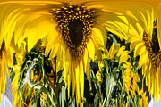 Russel Ray Prints - Sunflowers Dripper Print by Russel Ray