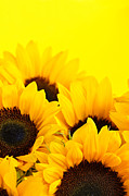 Flower Blooms Photos - Sunflowers by Elena Elisseeva