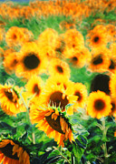Vineyards Photo Originals - Sunflowers by Franco Franceschi