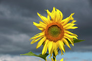Outdoors Prints - Sunflowers Helianthus annuus Print by Bernard Jaubert