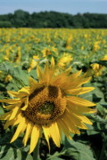Cultivation Framed Prints - Sunflowers in field during summer Framed Print by Sami Sarkis