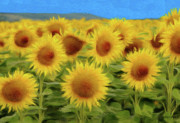Sunflowers Drawings - Sunflowers in the Field by Jeff Kolker