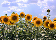 Cheering Prints - Sunflowers Print by Kristin Elmquist