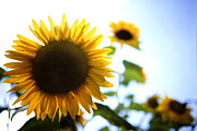 Beautiful Prints - Sunflowers Print by Les Cunliffe