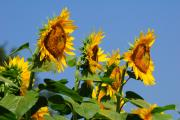 Sunflowers Looking East Print by Edward Sobuta