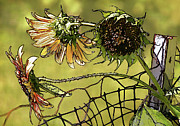 Disks Framed Prints - Sunflowers on a Fence Framed Print by Susan Isakson