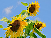 Susan Leggett Acrylic Prints - Sunflowers on Blue Acrylic Print by Susan Leggett