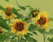 Florida Gulf Coast Posters - Sunflowers Poster by Photo by James Keith