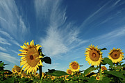 Field. Cloud Prints - Sunflowers Print by Robin Wilson Photography