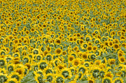 Ron Smith Metal Prints - Sunflowers Metal Print by Ron Smith