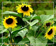 Artist4god Posters - Sunflowers Poster by Rose Santuci-Sofranko