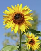 Florida Flowers Photos - Sunflowers by Sabrina L Ryan