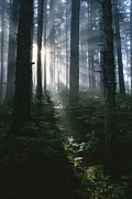 Kodiak Prints - Sunlight Beams Through The Forest Print by Rich Reid