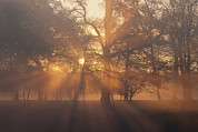 Natural Forces Art - Sunlight Filters Through Trees And Fog by Norbert Rosing
