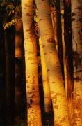 Aspen Prints - Sunlight On Aspen Trees, Twin Falls Print by Mike Grandmailson