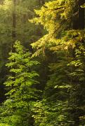 Backlit Prints - Sunlight on Evergreen Trees Print by Greg Vaughn - Printscapes
