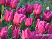 Sunlight On Pink Tulips Print by Carol Groenen