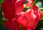 Sunlight On Red Hibiscus Print by Carol Groenen