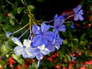 Phlox Digital Art - Sunlight on the Blues by RC DeWinter