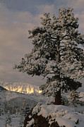 Fir Trees Posters - Sunlight On The Sierra Nevada Mountains Poster by Phil Schermeister