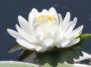 Water Lily Picture Prints - Sunlight on Water Lily Print by Carol Groenen