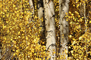 Autumn Views Prints - Sunlight Shines On Golden Aspen Leaves Print by Charles Kogod