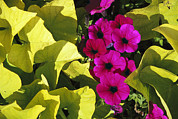 Natural Forces Art - Sunlight Shines On Petunia Flowers by Paul Damien