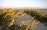 Sea Oats Framed Prints - Sunlight Strikes Sea Oats On Dunes Framed Print by Skip Brown