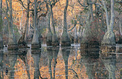 Cypress Knees Photos - Sunlight Through A Cypress Swamp by Medford Taylor