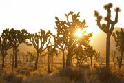 Cloudless Posters - Sunlight through Joshua Trees Poster by Quincy Dein - Printscapes