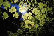 Selection Posters - Sunlight Through Maple Leaves Poster by Natural Selection Craig Tuttle