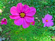 Padre Art Photos - Sunlit Cosmos Flowers by Padre Art