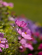 Flower Photos - Sunlit Cosmos by Mike Reid