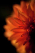 Dahlias Prints - Sunlit Dahlia Print by Mike Reid
