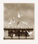 Peace Doves Framed Prints - Sunlit Doves  Framed Print by Mal Bray