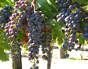 Grapevine Photographs Prints - Sunlit Grapes Print by Colleen Elise