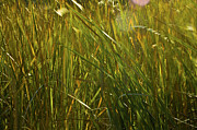 Green Movement Posters - Sunlit Grasses Poster by Rich Franco