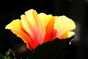 Diane Merkle - Sunlit Hibiscus