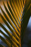 Frond Prints - Sunlit Palm Frond Print by Quincy Dein - Printscapes