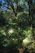 Fronds Prints - Sunlit Palmettos In A Woodland Print by Raymond Gehman