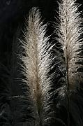 Pampas Grass Framed Prints - Sunlit Pampas Grass Framed Print by Tony Brown