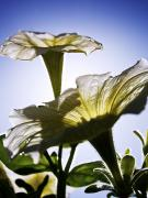 Backlit Prints - Sunlit Petunias Print by Ray Laskowitz - Printscapes