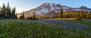 Mount Mazama Posters - Sunlit Rainier Meadows Poster by Mike Reid